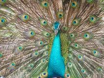 Индийский павлин, cristatus Pavo, показывая для ответной части Стоковые Изображения