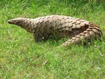 Индийский панголин стоковая фотография rf