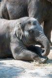 Индийский слон лежа или довольно добросердечный сидеть на поле стоковое изображение rf