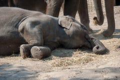 Индийский слон лежа на том основании ослабляющ в солнце стоковое фото