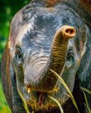 Индийский слон стоковое фото rf