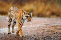 Индийский тигр с первым дождем, диким животным в среду обитания природы, Ranthambore, Индией Большая кошка, угрожаемое животное К стоковое фото rf