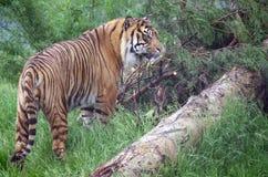 индийский тигр стоковая фотография rf