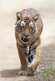 индийский тигр стоковое изображение