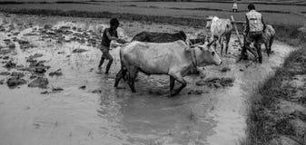 Индийский традиционный вспахивая метод стоковое изображение rf