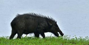 Индийский хряк Cristatus scrofa Sus, также известное как свинья Andamanese Стоковая Фотография RF