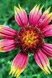 Индийский цветок стоковая фотография rf
