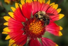 Индийский цветок одеяла с пчелой путать стоковое изображение