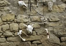 Индийский череп козы стоковые изображения