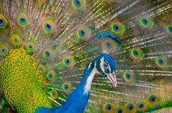 Индийский peafowl распространяет пер к женщине Стоковые Изображения
