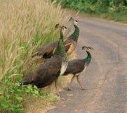 индийский peafowl Стоковая Фотография RF