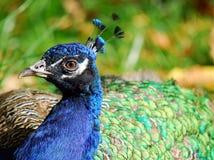 индийский peafowl Стоковые Фотографии RF