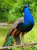 индийский peafowl Стоковое Изображение