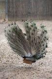 индийский peafowl Стоковая Фотография