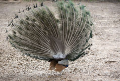 индийский peafowl Стоковое Фото