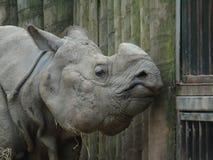 индийский rhinoceros стоковое фото