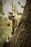 Индийский woodpecker стоковое фото
