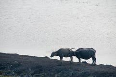 2 индийского буйвола в южном Таиланде Стоковое Фото