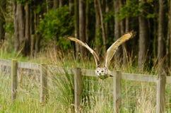 Индийское летание сыча орла над загородкой Стоковые Фотографии RF