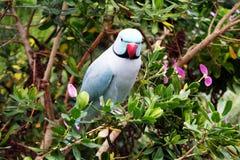 индийское ringneck parakeet Стоковые Фото