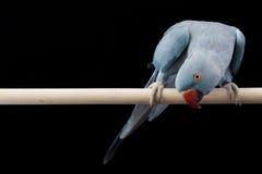 индийское ringneck parakeet стоковые изображения
