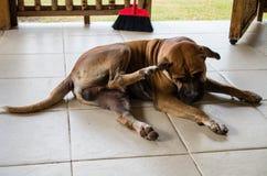Индонезийская собака царапая блох стоковое изображение