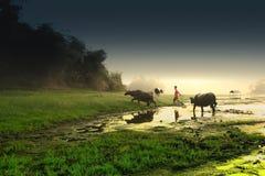 Индонезийские мальчики коровы в ферме Стоковые Фотографии RF