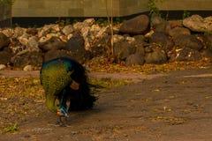 Индонезийский зеленый павлин стоковое фото