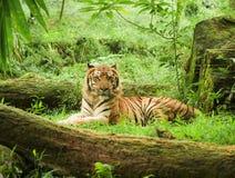 индонезийский тигр Стоковая Фотография RF