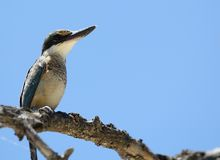 Индонезийский Kingfisher против голубого неба Стоковые Изображения
