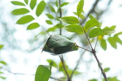 16-04-2018 Индонезия, листья macrophlla swietenia и дерева неба Стоковое фото RF