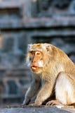 Индонесия monkeys висок Стоковые Изображения