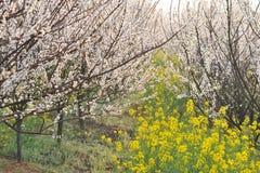 Индустрия розовые персик и цветение-цветок и саженец сливы Стоковое Фото