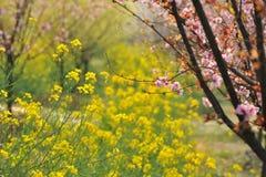 Индустрия розовые персик и цветение-цветок и саженец сливы Стоковое Изображение RF