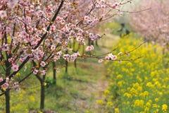 Индустрия розовые персик и цветение-цветок и саженец сливы Стоковая Фотография