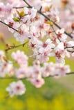 Индустрия розовые персик и цветение-цветок и саженец сливы Стоковые Изображения RF