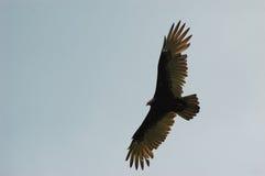 индюк полета buzzard Стоковое Изображение RF
