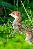 индюк цыпленока одичалый стоковая фотография rf