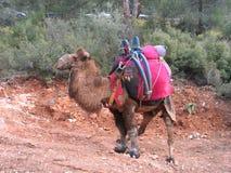 индюк bactrian верблюда wrestling Стоковые Фото