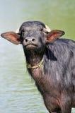 инец буйвола Стоковые Изображения RF