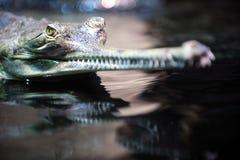 инец gavialis gangeticus gavial Стоковая Фотография