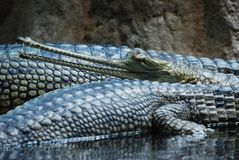 инец gavialis gangeticus gavial Стоковые Изображения