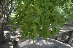 линии shine листьев предпосылки цветастые mapple стоковая фотография