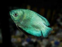 линия белизна рыб чертежа аквариума черная Семья Anabantoidae Стоковое Изображение RF