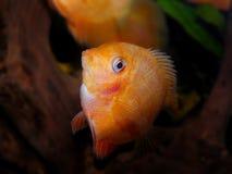 линия белизна рыб чертежа аквариума черная Семья Cichlidae Стоковое Изображение RF