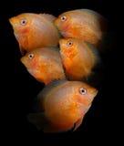 линия белизна рыб чертежа аквариума черная Семья Cichlidae Стоковая Фотография RF