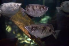 линия белизна рыб чертежа аквариума черная Стоковое Изображение