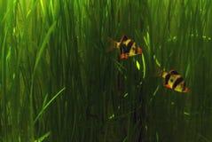 линия белизна рыб чертежа аквариума черная Стоковое фото RF