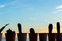линия различного кактуса в баках Стоковое Изображение RF
