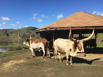 длиннее быка horned Стоковое Изображение RF